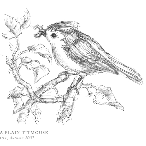 A Plain Titmouse by Breezy Brookshire